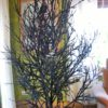 Czarne drzewa dekoracyjne oryginalny pomysł na wystrój oryginalana nowoczesna dekoracja świąteczna całoroczna czarna na pniu ośnieżona